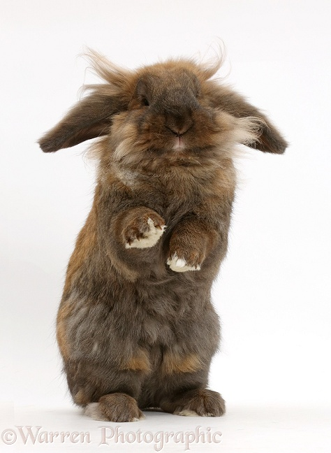 Brown lop rabbit, Dibdab, standing up in a comical fashion, white background