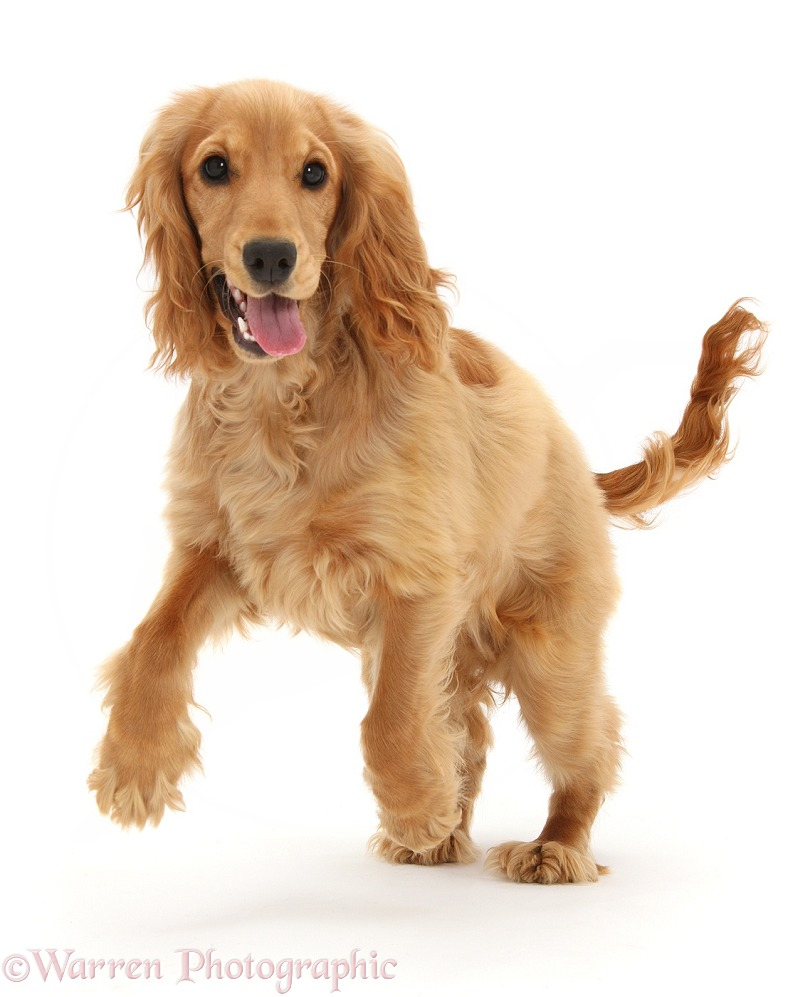 Golden Cocker Spaniel, Sadie, 6 months old, running, white background