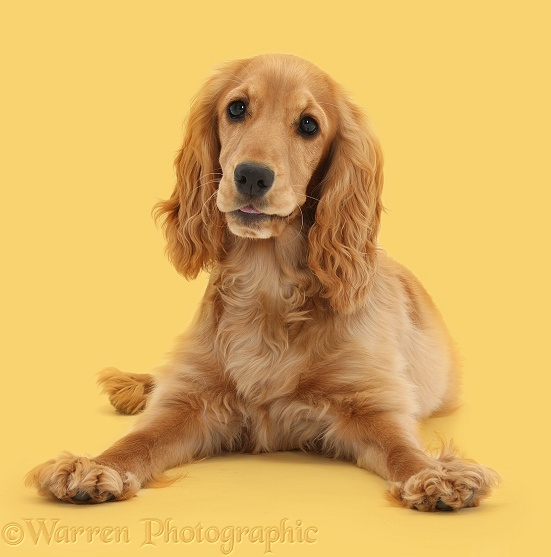 Golden Cocker Spaniel, Sadie, 6 months old, lying with head up, white background