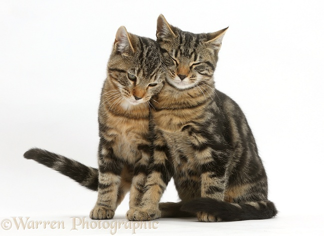 Tabby cats, Picasso and Smudge, 3 months old, sitting together and rubbing, white background