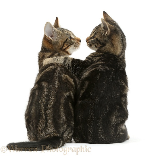 Tabby cats, Picasso and Smudge, 3 months old, back view, arm-in-arm, and looking lovingly into each other's eyes, white background