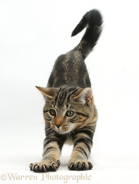 Tabby kitten, Picasso, 3 months old, stretching