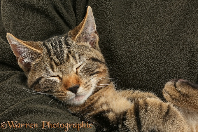 Tabby kitten, Picasso, 3 months old, sleeping in someone's arm