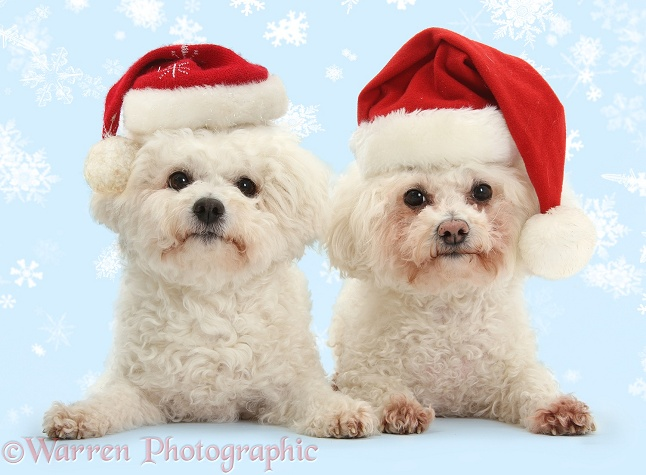 Bichon Frises, Poppy and Pipa, wearing Father Christmas hats, white background