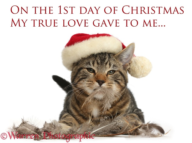 First day of Christmas, tabby kitten, Picasso, 3 months old, with Santa hat and feathers, white background