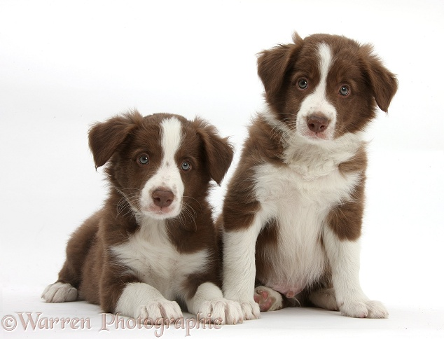Cute chocolate Border Collie puppies, 7 weeks old, white background
