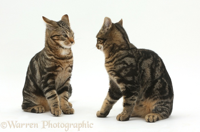 Tabby cats Picasso and Smudge, 4 months old, squaring up to attack each other in a play-fight, white background
