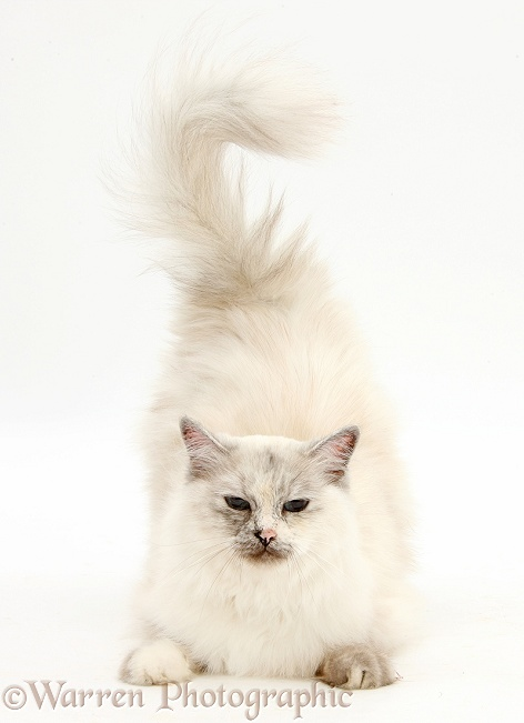 Birman cat, Tallulah, lying head up and tail end up, white background