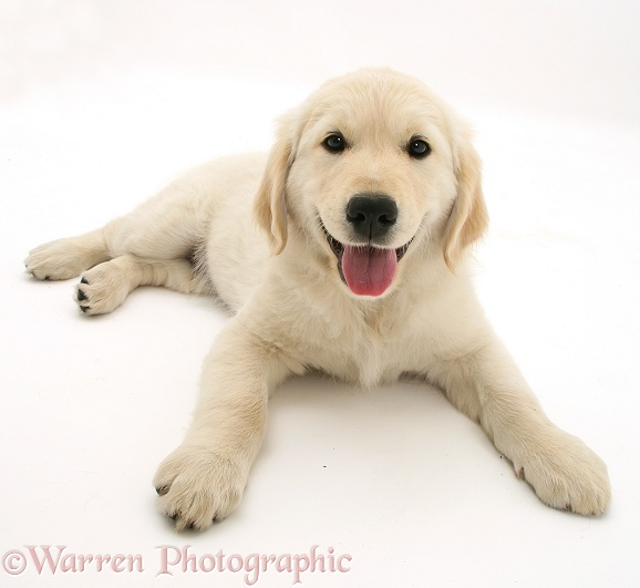 Golden Retriever pup, white background