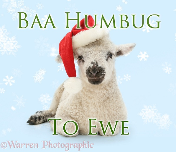 Baa humbug to ewe lamb in Father Christmas hat, white background