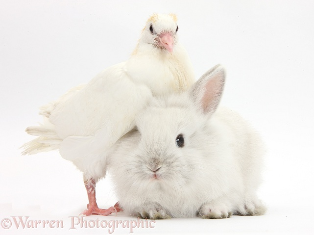 Young white pigeon and baby rabbit, white background