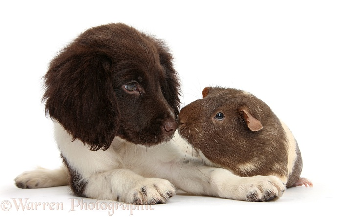 Chocolate-and-white Cocker Spaniel puppy and Guinea pig nose-to-nose, white background
