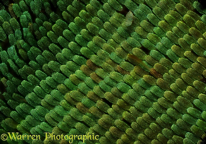 Scales one the wing of an Emerald Swallowtail butterfly (Papilio palinurus)