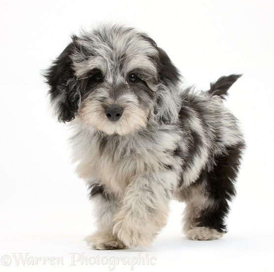 Fluffy black-and-grey Daxie-doodle pup, Pebbles, walking, white background
