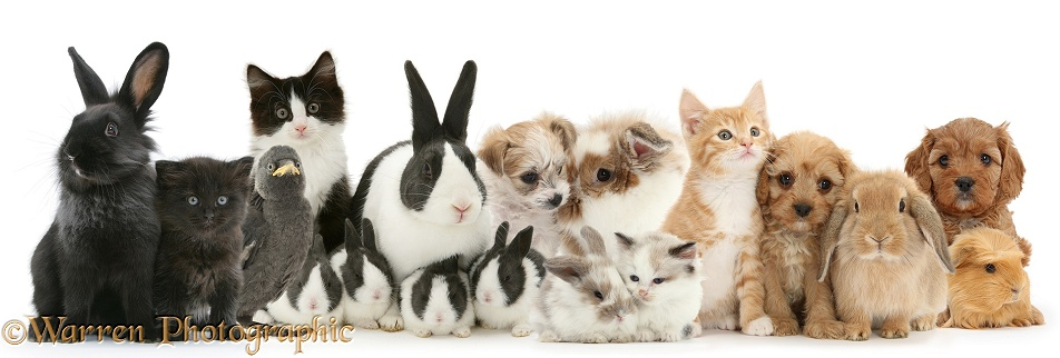 Black to ginger animal lineup. Kittens, bunnies, puppies, Jackdaw and Guinea pig, white background