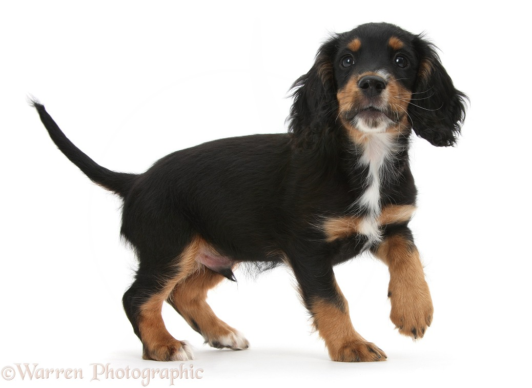Tricolour working Cocker Spaniel puppy, 9 weeks old, standing with raised paw, white background