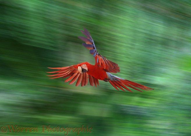 Green-winged Macaw (Ara chloroptera) in flight.  South America
