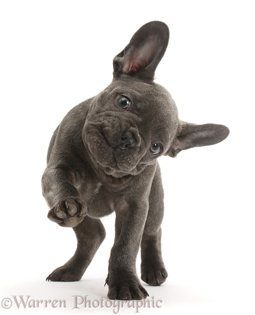 French Bulldog puppy pointing with a paw, white background