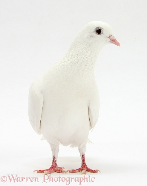 White dove, white background