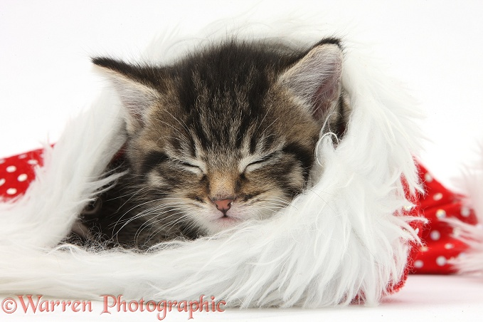 Cute tabby kitten, Fosset, 5 weeks old, sleeping in a Father Christmas hat, white background