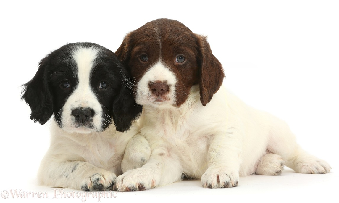 Black-and-white and liver-and-white Springer Spaniel puppies, 6 weeks old, white background