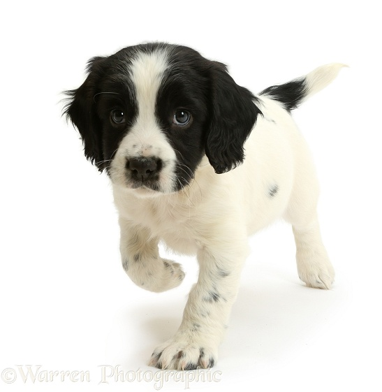 Black-and-white Springer Spaniel puppy, 6 weeks old, white background