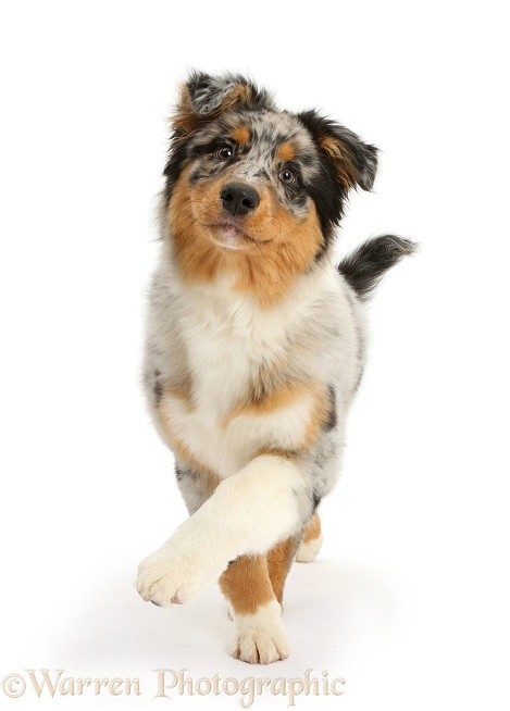 Australian Shepherd pup, 16 weeks old, walking, white background