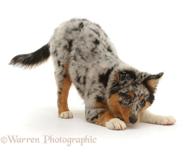 Australian Shepherd pup, 16 weeks old, in play-bow stance, white background