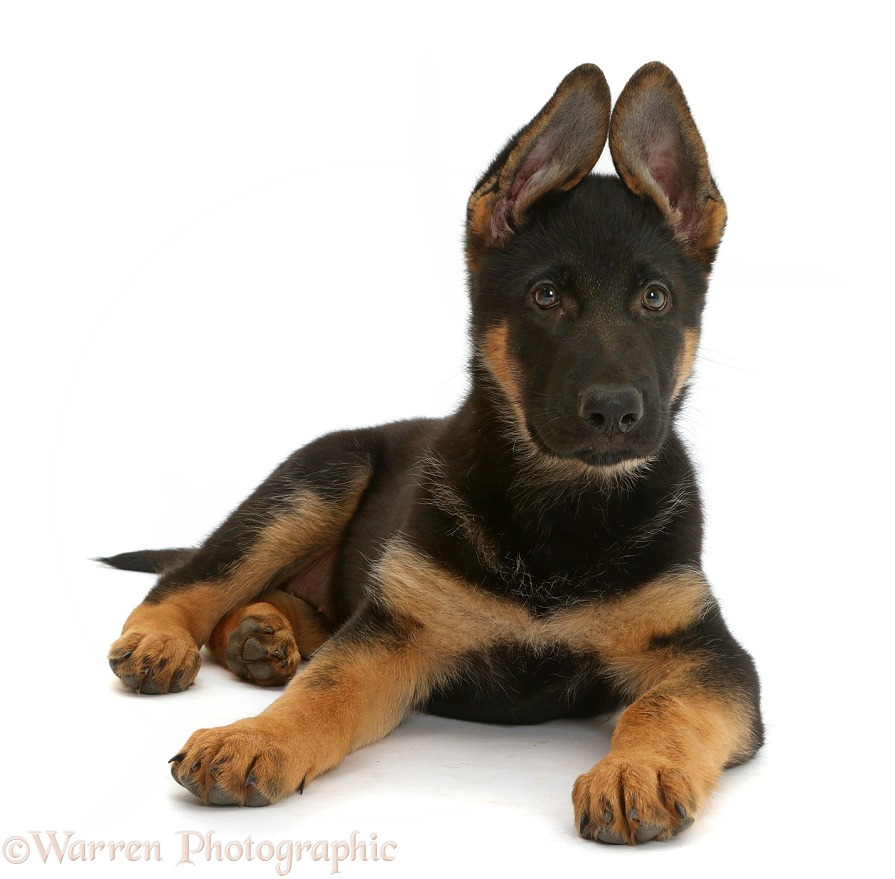 German Shepherd Dog puppy, 8 weeks old, lying with head up, white background