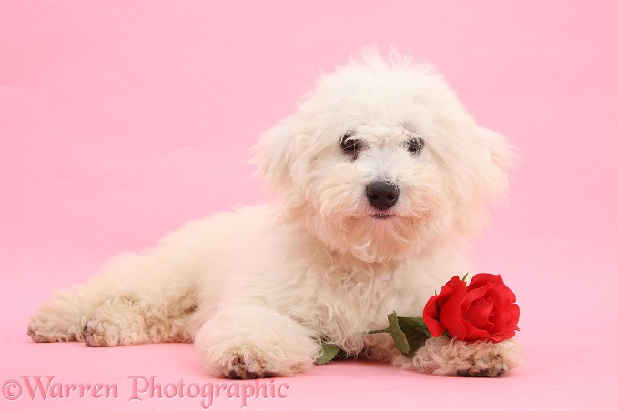 Bichon Frise dog, Louie, 4 months old, with a red rose