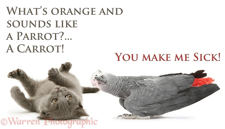 Grey kitten and African Grey Parrot (Psittacus erithacus) sharing a carrot joke. Sick as a Parrot, white background