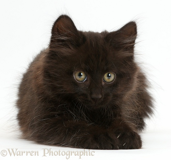 Fluffy black kitten, 10 weeks old, white background