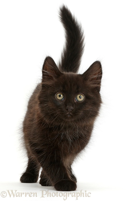 Fluffy Black Kitten Photo Wp41408