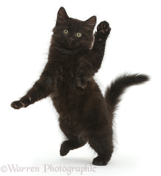 Fluffy black kitten, 10 weeks old, jumping up and dancing, white background