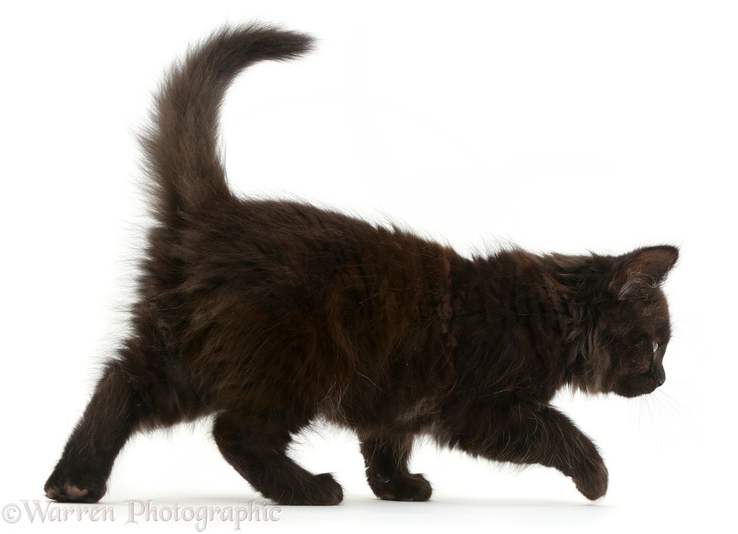 Fluffy black kitten, 10 weeks old, walking, white background