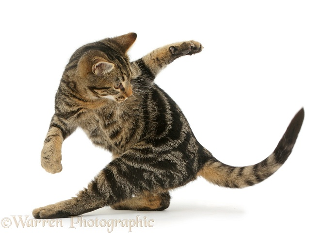 Tabby cat, Picasso, 4 months old, chasing his own tail, white background