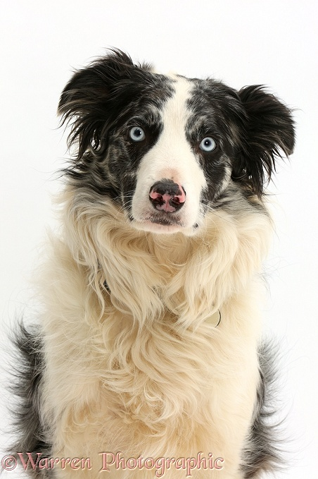 Blue merle Border Collie, Reef, white background