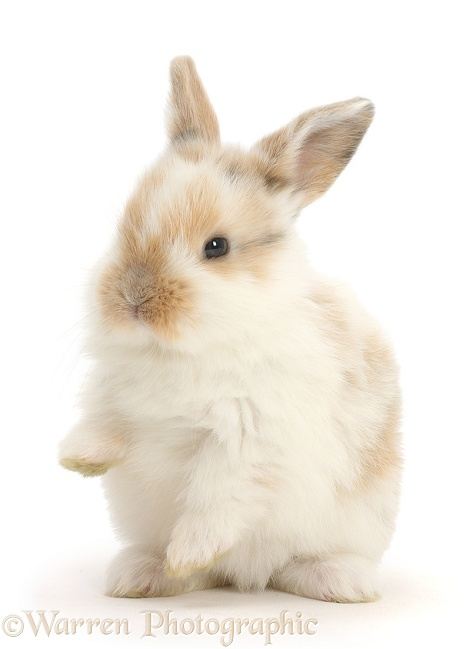 Baby bunny with paws up, white background