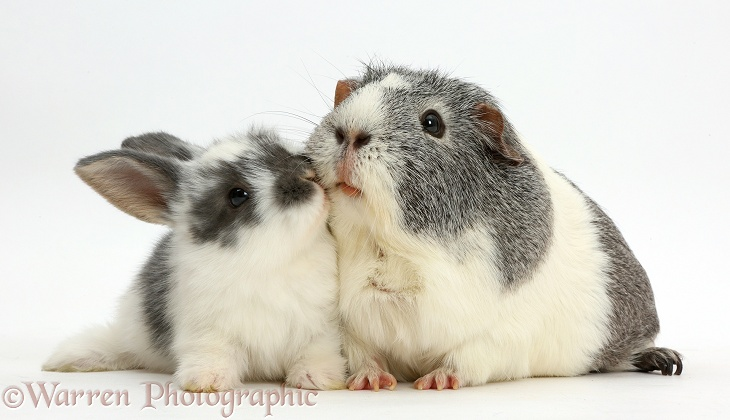 Baby bunny and Guinea pig kissing, white background