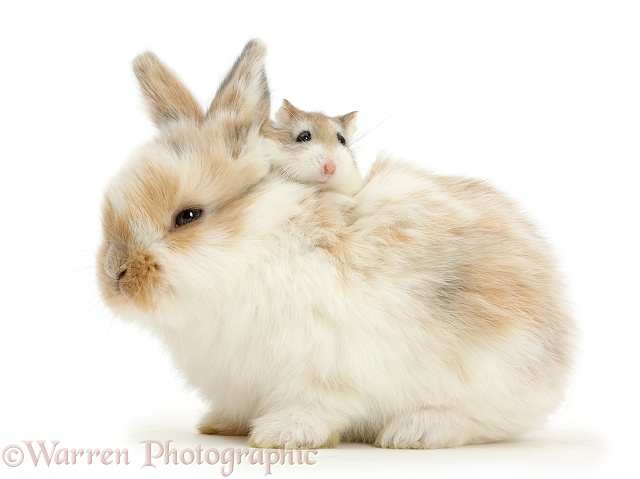 Baby bunny with Roborovski Hamster riding on back, white background