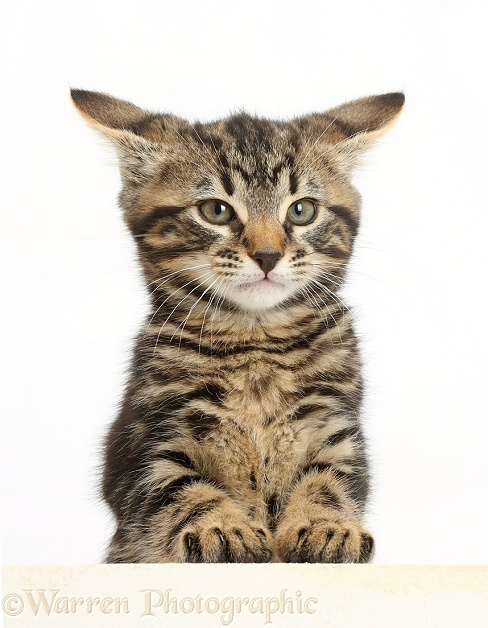 Tabby kitten, Smudge, 8 weeks old, paws over, white background