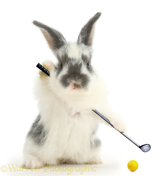 Baby bunny playing golf, white background