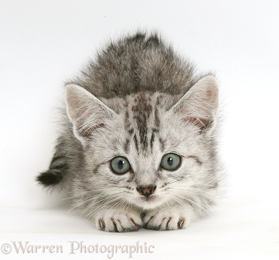Silver tabby Bengal-cross kitten about to pounce, white background