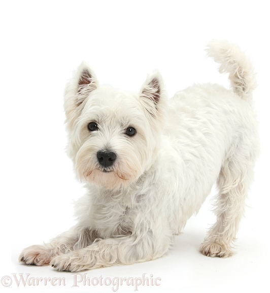 West Highland White Terrier, Betty, in play-bow, white background