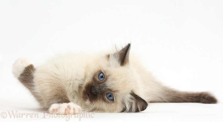 Ragdoll kitten, 10 weeks old, lying on her side, white background