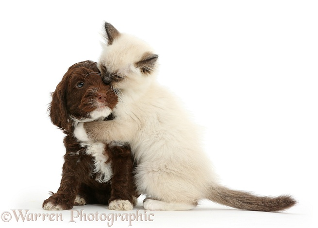 Ragdoll kitten, 10 weeks old, hugging Chocolate Cockapoo puppy, 6 weeks old, white background