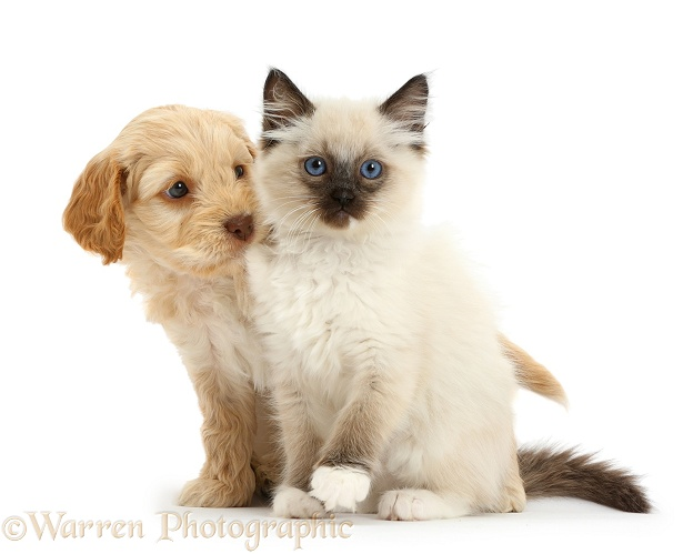 Ragdoll kitten and Cockapoo puppy, white background