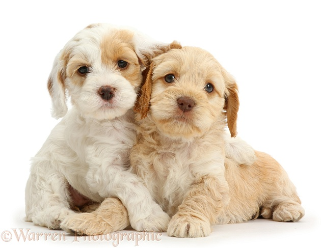 Two Cockapoo puppies, white background