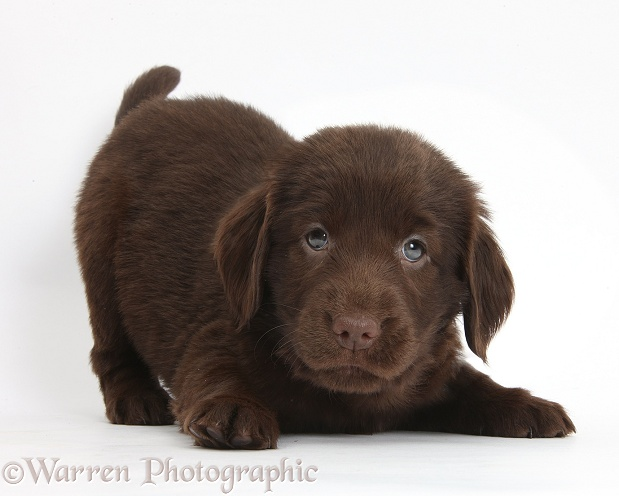 Liver Flatcoated Retriever puppy, 6 weeks old, in play-bow, white background