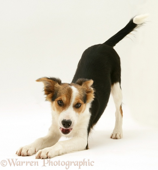 Tricolour Border Collie pup, Minstrel, play-bowing, white background